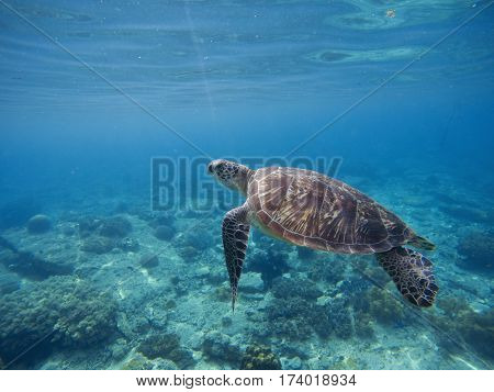 Sea turtle in water. Green turtle underwater in blue ocean. Lovely sea animal in wild nature closeup photo. Green tortoise in tropical lagoon above the coral reef. Marine ecosystem. Snorkeling image