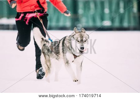 Young Husky Dog Runs Ahead Of Its Owner At The Winter Running Training. Husky Dog Playing Running Outdoor In Snow, Winter Season.