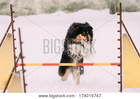 Funny Young Shetland Sheepdog, Sheltie, Collie Playing And Jumping Outdoor Over Barrier At Training In Snow, Winter Season