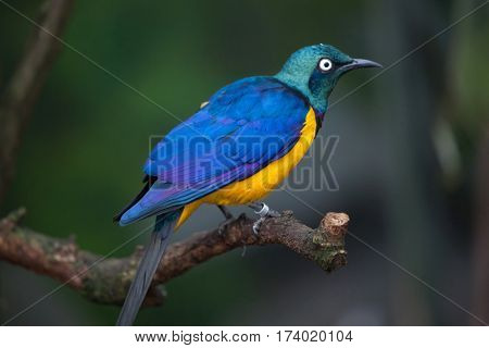 Golden-breasted starling (Lamprotornis regius), also known as the royal starling.