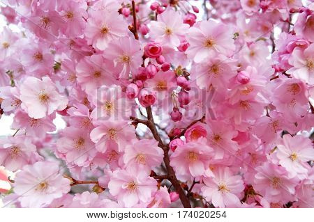 Blossoming delicate pink flowers of cherry blossom in spring.