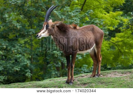 Sable antelope (Hippotragus niger), also known as the black antelope.