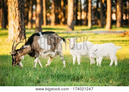 Goat And Two Kid Goat Grazing On Green Summer Grass On A Sunny Day. Farm Animals