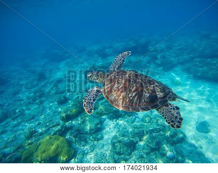 Sea turtle swimming in blue lagoon. Green turtle in sea water. Ecosystem of tropical seashore. Snorkeling with turtle image. Underwater landscape with sea animal. Green sea tortoise in blue water