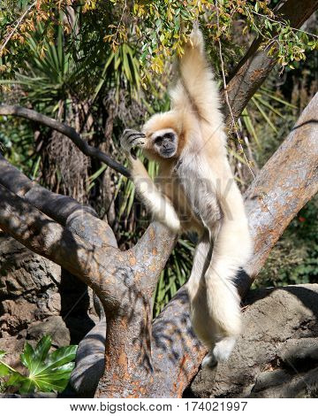 One lar gibbon also known as the white-handed gibbon is a diurnal primate an omnivore common in South East Asia hanging in a tree top looking off into the distance. Female with off white fur