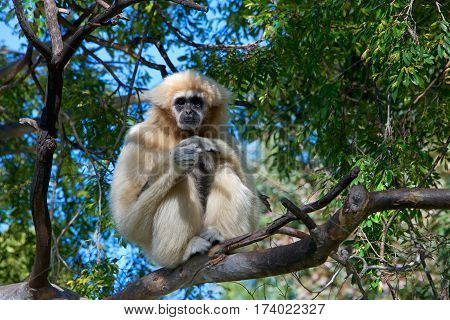 One lar gibbon also known as the white-handed gibbon is a diurnal primate an omnivore common in South East Asia sitting in a tree top looking off into the distance. Female with off white fur
