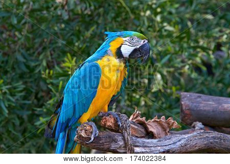 Blue and gold macaw a large South American parrot with blue top parts and yellow under parts. Sitting on wood branch with green trees with leaves in background. Looking to viewers right.