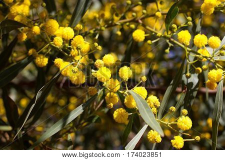 Yellow ball of mimosa flowers. Woman s day, eight of march