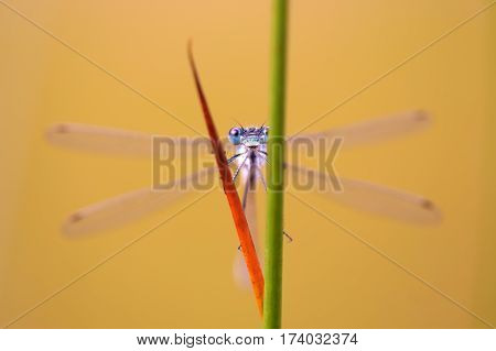 Macro Of A Dragonfly Looking Between Rushes