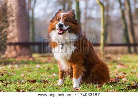 Portrait Of A Sitting Elo Dog