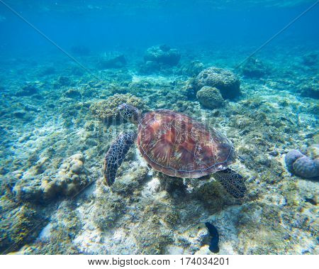 Sea turtle in water. Green turtle underwater in blue ocean. Lovely sea animal in wild nature closeup photo. Green tortoise in tropical lagoon above the coral reef. Marine ecosystem. Snorkeling photo