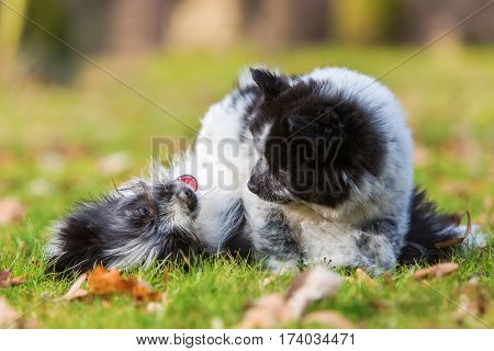 Two Elo Puppy Siblings Scuffle On The Grass