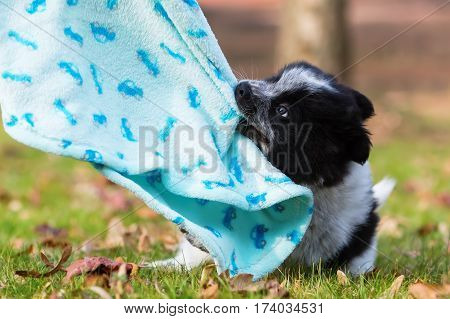 Elo Puppy Pulls At A Blanket