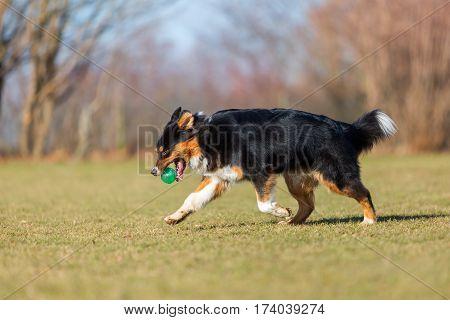 Australian Shepherd Walks With A Ball In The Snout