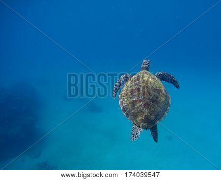 Sea turtle swimming in blue water. Deep blue sea and animal. Rare marine species of tropical seawater. Exotic oceanic animal. Green tortoise above deep seashore. Snorkeling with sea turtle photo