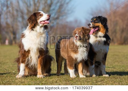 Portrait Of Three Australian Shepherd Dogs