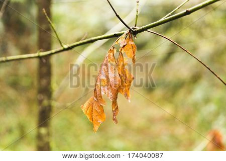 Orange dead leaf hanging from live branch in a forest park in Vancouver Washington USA.