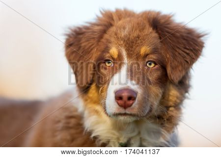 Head Portrait Of An Australian Shepherd Puppy
