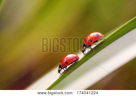 picture of two ladybugs on a grass stalk