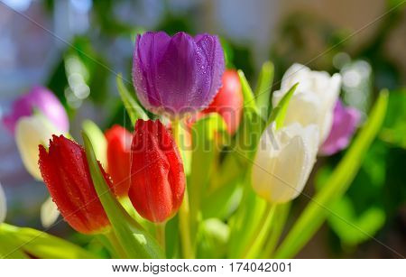 tulips with dew drops in spring time