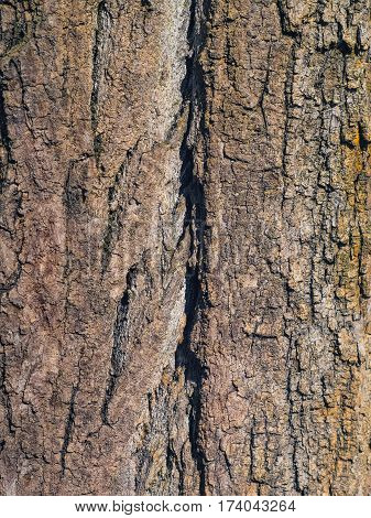 The nice texture of a huge tree bark