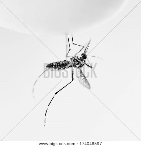 Mosquito black and white tone object for design