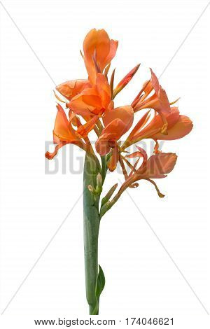 Orange canna lily flowers on white background. Clipping path