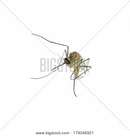 mosquito close - up isolated on white background