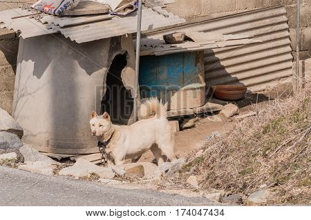 White Jindo with collar chained in front of make-shift dog house