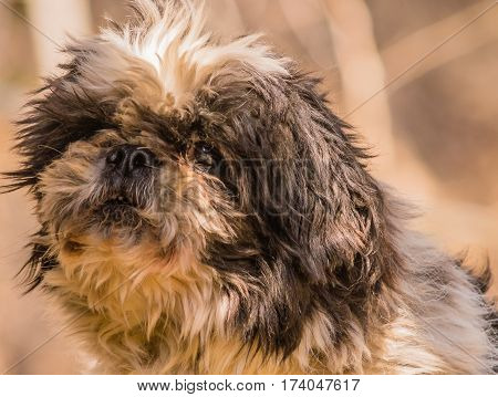 Closeup portrait of a saggy black and white dog