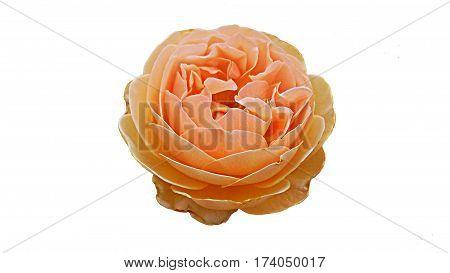 Single wet orange rose orange rose on white background