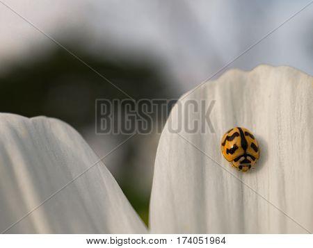 Macro close up and selective focus ladybug on white daisy flower.