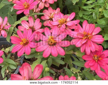 close up pink zinnia angustifolia flower in nature garden