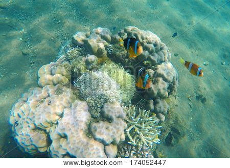 Tropical fish clown near coral reef and actinia. Clownfish family in actinia. Underwater photo with coral reef fishes. Sea sand bottom and small coral. Undersea ecosystem. Snorkeling in exotic island