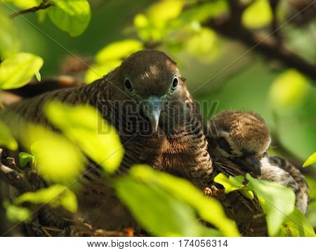 Close Up Of Two Birds, Baby Bird With Mother Portrait In Bird's Nest