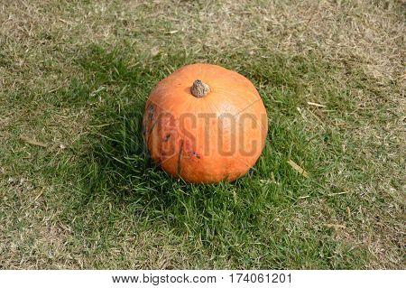 close up ripe pumpkin fruit on green grass