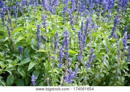 blue salvia splendens flower in nature garden