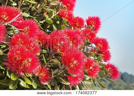detail of red pohutukawa flowers in bloom
