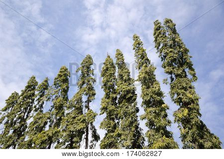 green polyalthia longifolia tree in nature garden