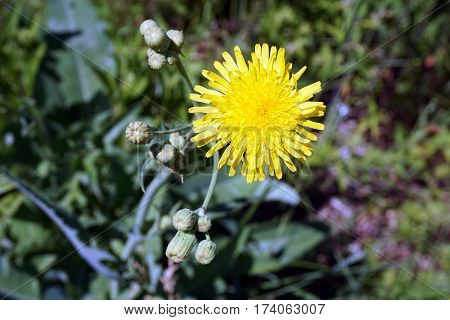 A yellow flower of the field sow thistle (Sonchus arvensis), also called corn sow thistle, dindle,gutweed, swine thistle, tree sow thistle, and field milk thistle, bloom in Joliet, Illinois during June