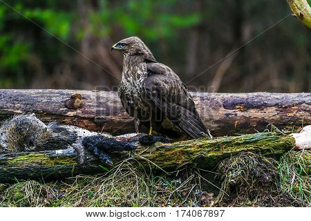 Common Buzzard (buteo Buteo) In A Forest