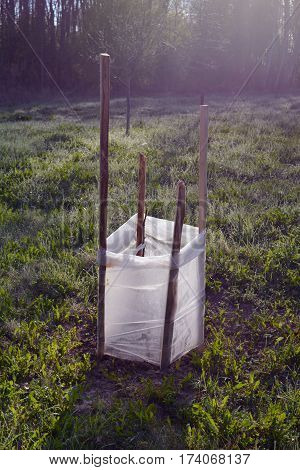 Young apple tree sprouts protection in summer with polythene