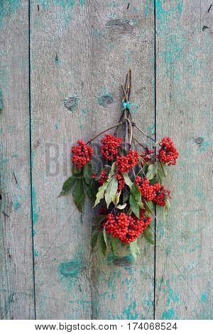 European Red Elder Sambucus racemosa berry bunch on old wooden barn wall in farm