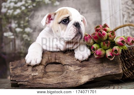 Purebred English Bulldog puppy