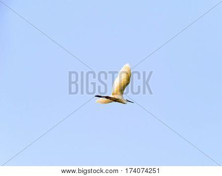 Ardea alba bird flying in blue sky
