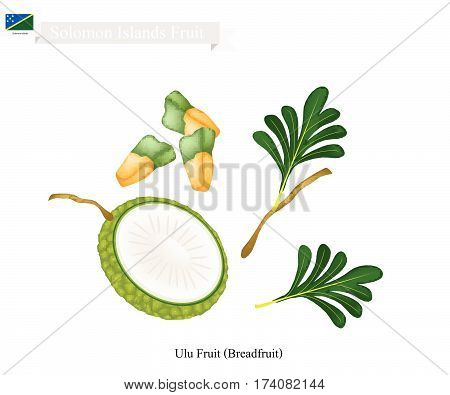 Solomon Fruit Illustration of Breadfruit or Artocarpus Altilis. The Native Fruit in Solomon Islands.