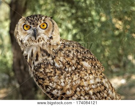 Eagle Owl. An eagle owl. A Eurasian Eagle Owl perched on a branch and looking to the right in the blur nature background