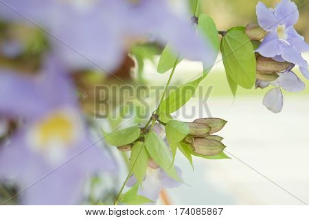 Laurel Clock Vine Or Thunbergia Laurifolia