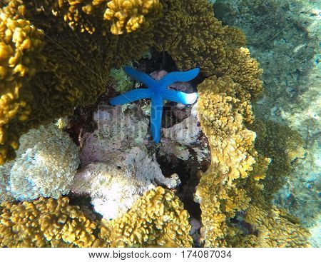 Underwater landscape with star fish. Blue starfish in grey corals. Underwater scenery with sea animal. Clear ocean ecosystem. Sea animal in coral reef. Tropical vacation sport activity in Philippines