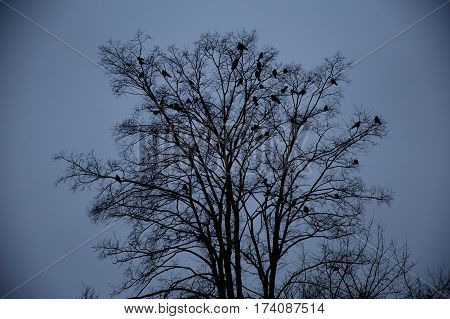 Ravens sitting on a tree in the dark dark time of day